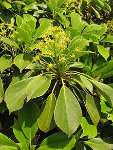 Trochodendron aralioides_09072