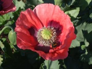 Opium poppy Bowburn