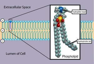 Phospholipid_TvanBrussel