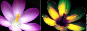 Cory - 2b - UV flower