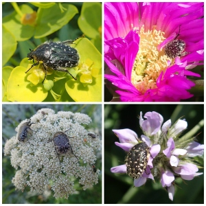 Rose beetle collage