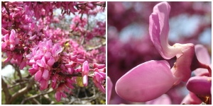 Cercis collage