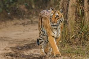 Bengal-Tiger_Corbett_Uttarakhand_Dec-2013