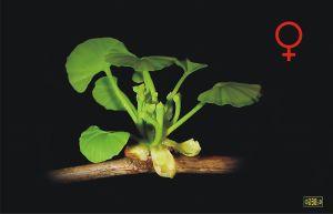 800px-Ginkgo_biloba_female_flower