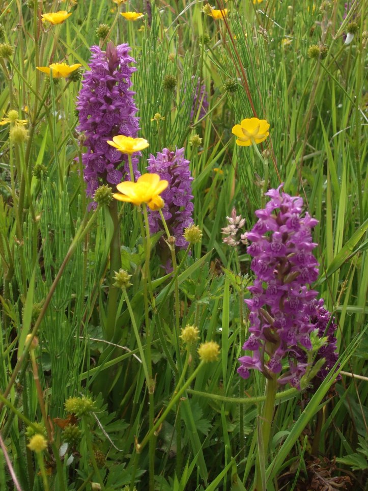 Orchids at Crowtrees LNR July 2010 002