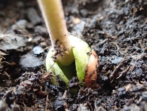 Bean seed 2