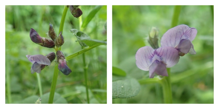 Vetch collage