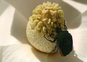 beetle-in-magnolia-1