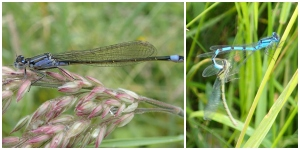 Damselfly collage