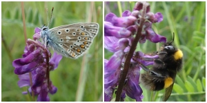 Vetch pollinator collage