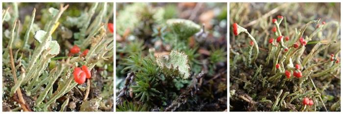 lichen-collage