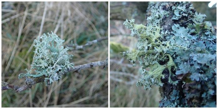 tree-lichen-collage