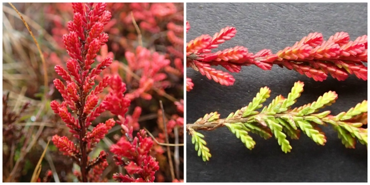 Red heather collage