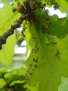 oak catkins