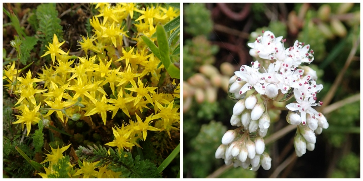 Sedum Collage