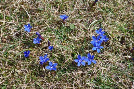 Spring Gentians 9