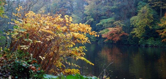 Japanese_knotweed_Durham_Nov15