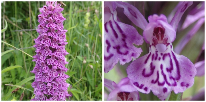 Heath spotted orchid collage