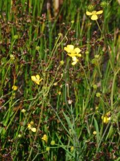 lesser-spearwort-ranunculus.jpg