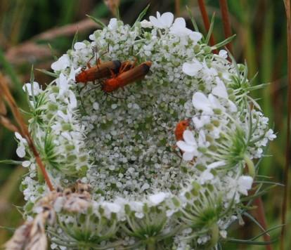 Wild carrot, Daucas carota ssp carota 5