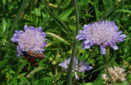 Knautia arvensis 2 (2)