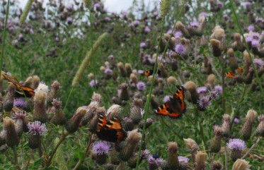 Painted ladies on Creeping thistles