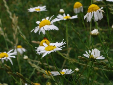 Scentless mayweed, Tripleurospermum inodorum 1
