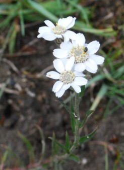 Sneezewort, Achillea ptarmica