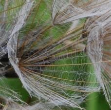 Tragopogon pratensis agg 2 (2)