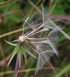 Tragopogon pratensis agg