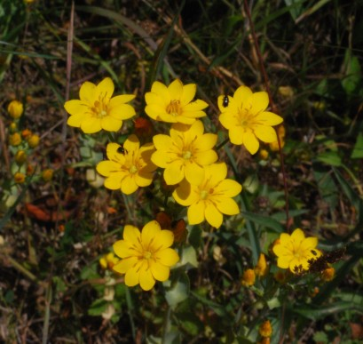 Yellow-wort, Blackstonia perfoliata