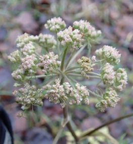 angelica sylvestris flowers small