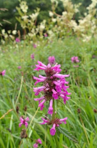 betony, stachys officinalis small