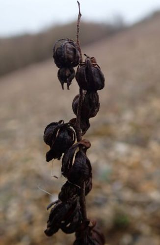 dark-red helleborine seedhead small