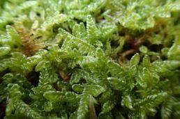 moss small 1