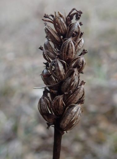 orchid seed head, small